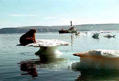 A stranded walrus in the Arctic